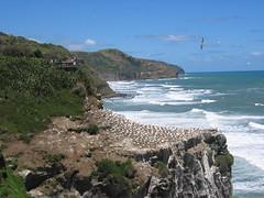 Muriwai Beach Gannets