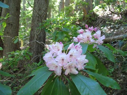 Wild Rhodedendrons
