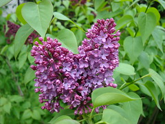 Lilas s'ouvrent dehors-1