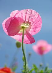 Poppy photo by h orihashi