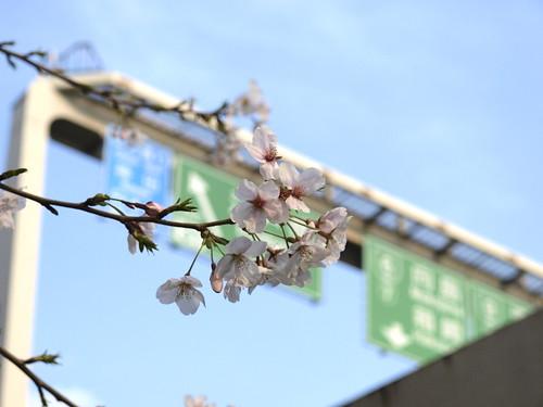 高速と桜 弐