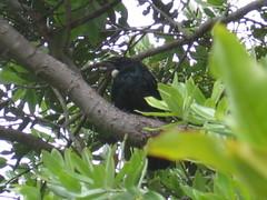 Tui on Tiritiri Matangi Island
