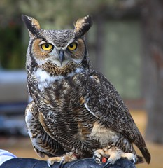 Great Horned Owl photo by rcgphotography