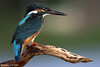 The Common Kingfisher...