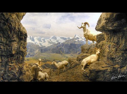 dalls sheep  may 31  2008