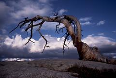 Ansel Adams' Jeffrey Pine photo by brad.schram