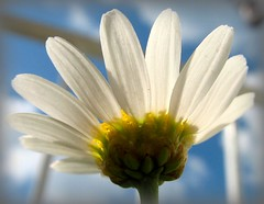Margerite - Leucanthemum vulgare photo by Batikart