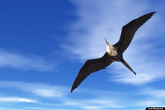 frigate bird photo by Luis Eduardo ®