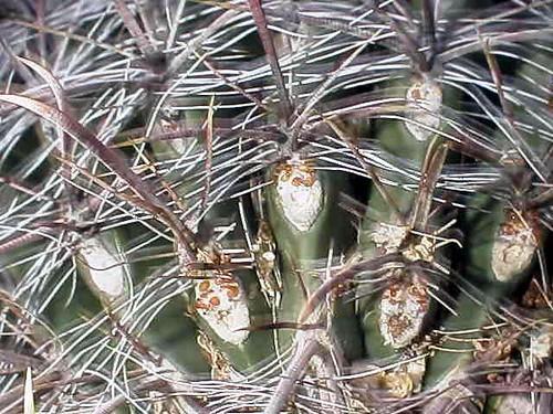 Cactus Nectaries