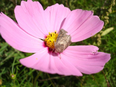 silver-moth-wild