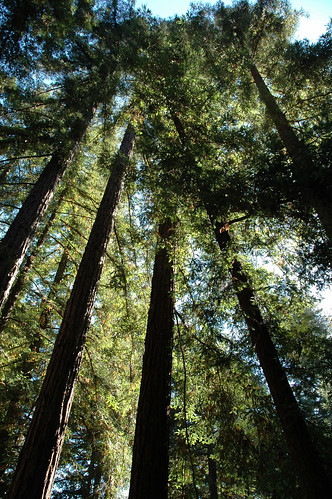 redwoods: ancient souls