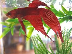Choosing a nutritious diet for bettas fish care for Betta fish diet