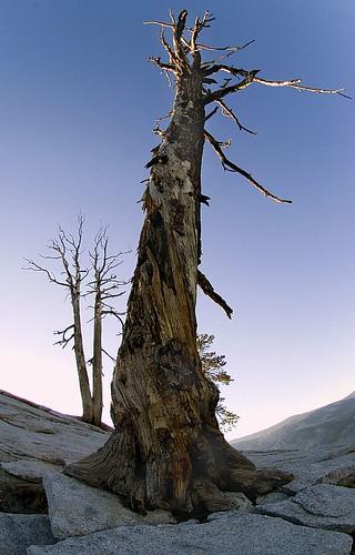 Blasted Tree, Sentinal Dome