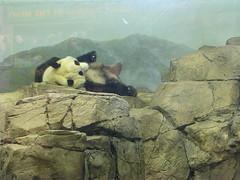 Lounging Panda