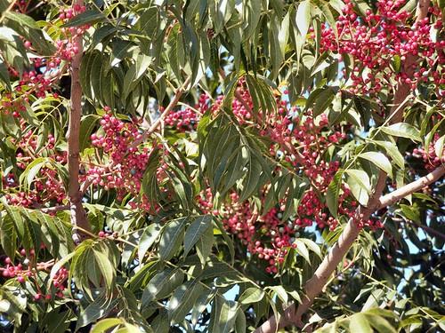 Pistachio Berries