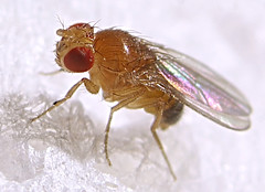 Fruit fly (Drosophila melanogaster, male) photo by Max xx