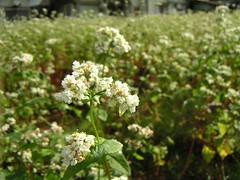 そばの花 Soba / Buckwheat