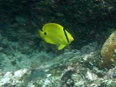 Blue-spot butterflyfish