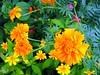 Sunshine Orange Burst Flowers