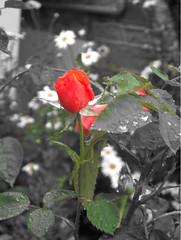 rose, 151105
