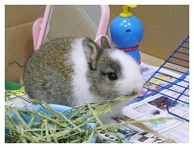 約克夏日記_20051116_吃草兔