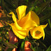 Yellow Oleander Bloom