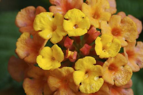 Wet Lantana Blossom