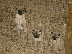 images of pugs