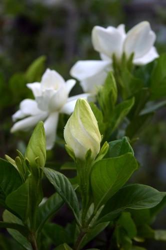 Gardenia o jazmín del cabo