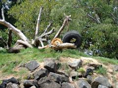A lion, taking a nap.