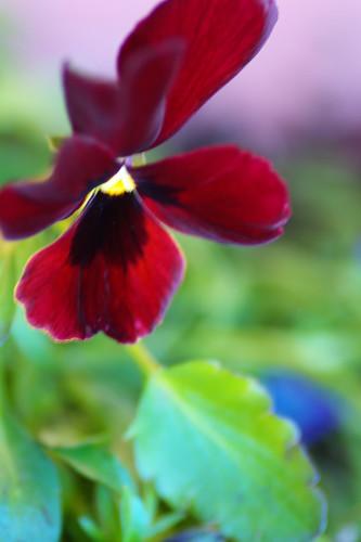 Viola*red