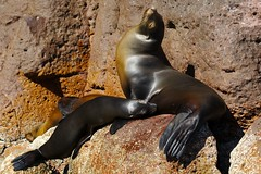 Mother and Nursing Baby Sea Lion