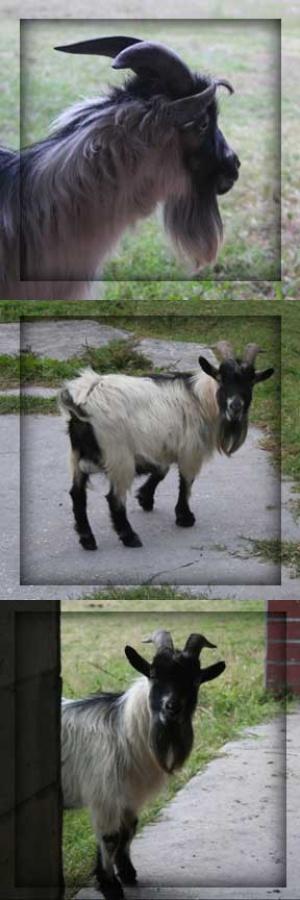 goatmosaic