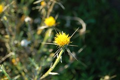 11a. Yellow Star Thistle Photo