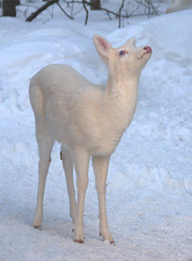 "Albino Whitetail Deer Blue Eyes Saying ""I Surrender No More Snow Please"" photo by Lifeinthenorthwoods.com"