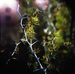 Thorns - Holga Macro photo by schoeband