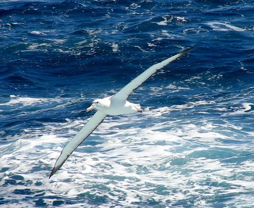 wandering albatross horse