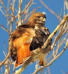 Red-tailed Hawk photo by JRIDLEY1