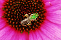 Green Bee photo by monteverde2000