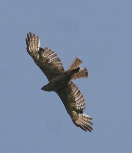 Broad-wing