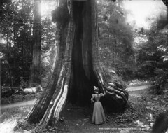 Great cedar tree, Stanley Park, Vancouver, BC, 1897 photo by Musée McCord Museum