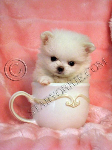 teacup pomeranian puppies for free. Pomeranian puppy-Coconut (4)