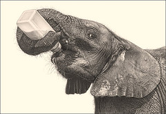 'Bottle Fed' - Orphaned Baby Elephant - www.drawntonature.co.uk photo by kjhayler