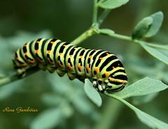 Lagarta da borboleta da espécie Papilio machaon | Papilio machaon caterpillar photo by Rosa Gamboias