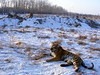 Tigers in the snow, Harbin, China
