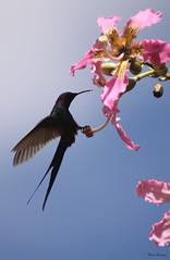 Série com o Beija-flor Tesoura (Eupetomena Macroura) - Series with the Swallow-tailed Hummingbird - 24-01-2009 - IMG_0069 photo by Flávio Cruvinel Brandão