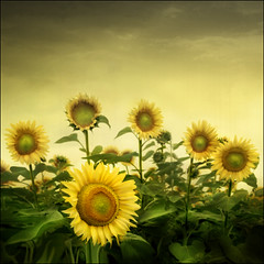 Bulgarian Sunflowers photo by ilina s