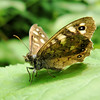 Hairy Speckled Wood