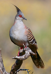Crested Pigeon photo by Birds of the South