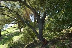 2a. Oaks Photo